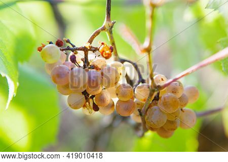 Growing Uncultivated Sweet Grape  . Tasty Berries In The Autumn
