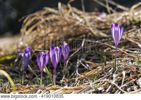 Blooming Crocus Flowers In Big Fatra Mountains, Slovak Republic. Springtime Natural Scene.