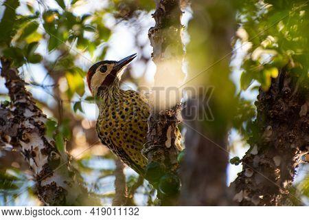 Woodpecker, Woodpecker In Jabuticabeira Eating Jabuticabas In Brazil, Selective Focus.