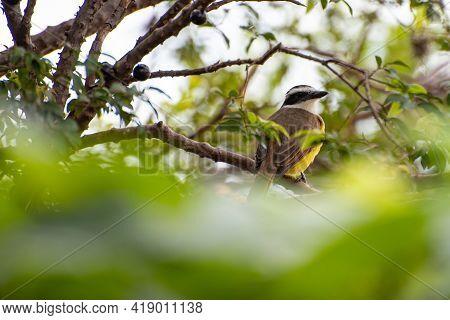 Bem-te-vi, Bird Bem-te-vi In jabuticabeira Eating Jabuticabas In Brazil, Selective Focus.