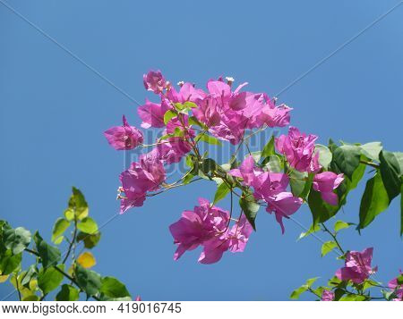 Close-up View Bougainvillea Tree With Flowers,  Bright Pink Magenta Bougainvillea Flowers As A Flora