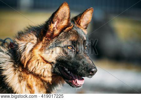Close Up Beautiful Young German Shepherd Alsatian Wolf Dog