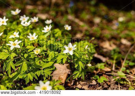Wood Anemones Growing Among Fallen Oak Leaves. Beautiful White Spring Flowers Anemone Nemorosa At Br