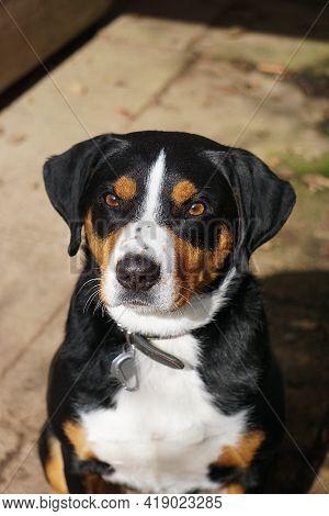 Beautiful Head Portrait Of An Appenzeller Dog