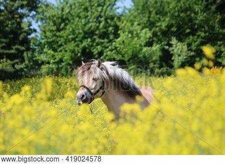 Beautiful Fjord Horse Portrait In A Rape Seed Field
