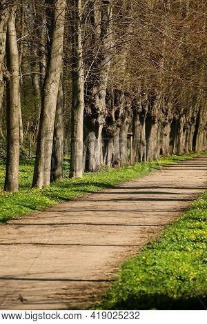 Narrow Avenue Lined With Old Trees In The Park With Spring Flowers At The Edge Of The Road
