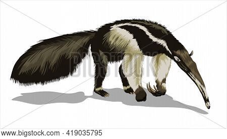 A Giant Anteater With A Huge Tail, Stands And Sniffs The Ground. Big Animal, A Rodent With A Long Ta