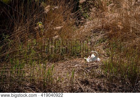 One Mute Swan In The Nest Hatching Eggs In Spring. Cygnus Olor In Natural Environment. Beauty In Nat
