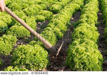 Manual Cultivation Of Lettuce. Growing Lettuce In Rows In A Field.