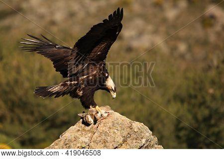 Spanish Imperial Eagle (aquila Adalberti), Also Known As The Iberian Imperial Eagle, Spanish Or Adal