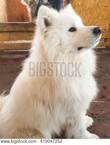 Cute White Samoyed Dog Poses Sitting On The Floor And Looks Away, Vertical Image.