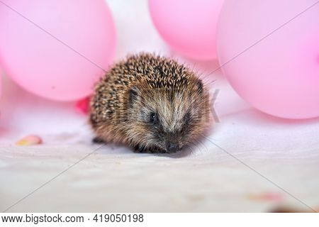 Little Hedgehog And Pink Balloons. Balloons And Flowers. Postcard With Hedgehog.