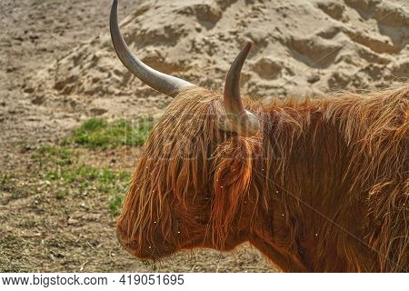 Ovibos Moschatus. Musk Ox In Zoo. Animal On Farm. Bull Eats Grass. Cattle