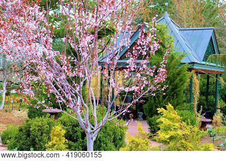 Deciduous Tree With Flower Blossoms During Spring Including A Gazebo Beyond Taken At A Manicured Gar