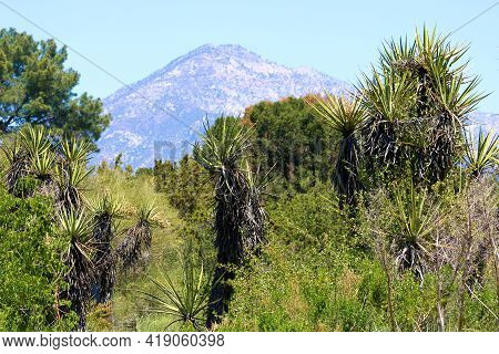 Chaparral Shrubs And Trees Including The Yucca Plant With The San Gabriel Mountains Beyond Taken At