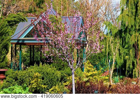 Deciduous Tree With Flower Blossoms During Spring With A Gazebo Beyond Taken At A Manicured Garden I