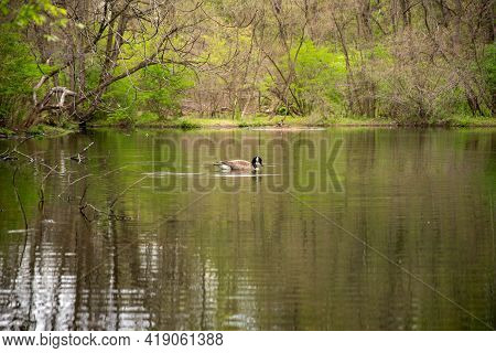 Beautiful Image Of A Serene Goose With Ripples On A Gentle Lake. Beautiful Pennsylvania Natural Habi