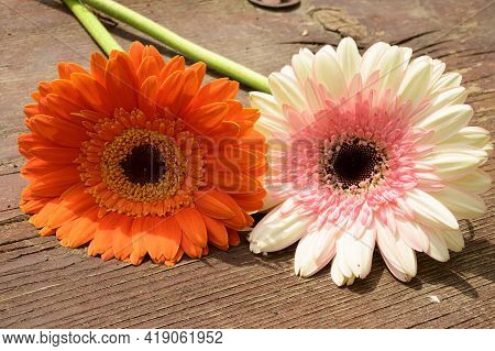 Very Nice Two Colorful Gerber Flower Close Up