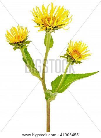 Elecampane (inula Helenium) Flower