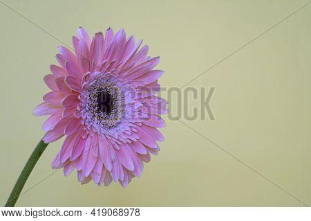 Very Nice Pink Gerber Flower Close Up