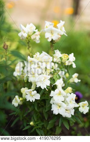 White Double Flowers Snapdragon Grow In The Garden In Summer