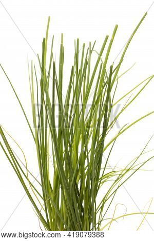 Aromatic Chives Plant