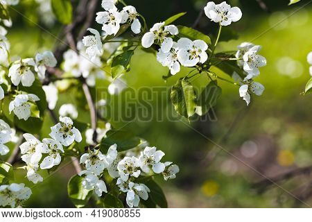Fresh Apple Tree Branch With White Flowers In A Garden. Spring Concept. Dark Moody Picture, Soft Sel