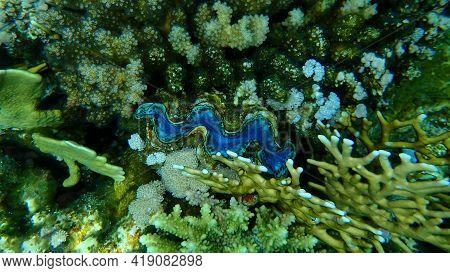 Bivalve Mollusc Maxima Clam Or Small Giant Clam (tridacna Maxima) Undersea, Red Sea, Egypt, Sharm El