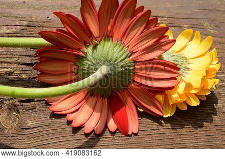 Very Nice Colorful Gerber Flower From Behind