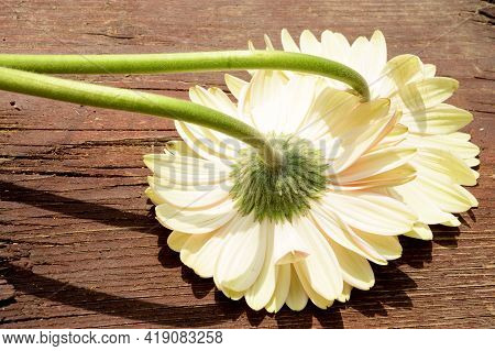 Two Beautiful White Gerber Flower From Behind