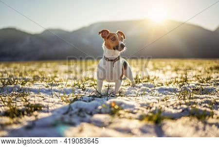Small Jack Russell Terrier Stands On Green Grass Meadow With Patches Of Snow During Freezing Winter
