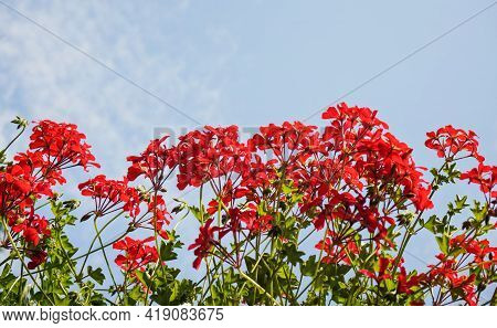 Pink Red Pelargonium Flowers With Clear Sky Background