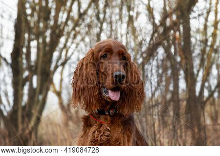 Beautiful Portrait Hunting Young Dog Irish Setter In Spring In Forest