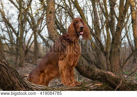 Beautiful Hunting Young Dog Irish Setter In Spring Portrait In Forest
