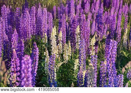 Fresh Lupine Close-up Blooming In Spring. High Lush Purple Lupine Flowers, Summer Meadow.