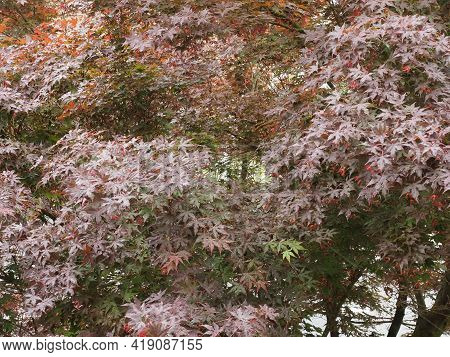 Maple Acer Tree Leaves