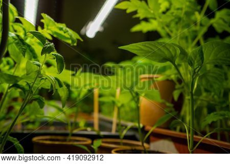 Macro Shot Of Green Tomato Sprouts On A Windowsill In An Apartment At Night Under Artificial Infrare