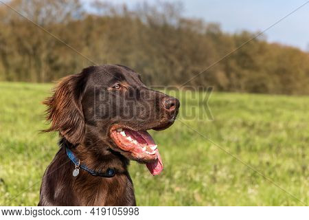 Resting Dog In Spring Day. Brown Flat Coated Retriever Puppy. Dog's Eyes. Five Months Old Puppy.