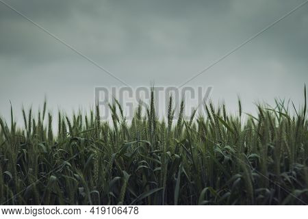 A Low-angle View Of A Field Of Green Wheat, Against A Backdrop Of A Cloudy Winter Sky
