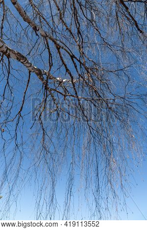 Background Of Long Tree Branches Hanging Down On The Blue Sky.