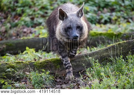 Brown Hyena Steps Over The Mossy Root Of A Tree. Furry Shaggy Hyaena Brunnea, Also Called Strandwolf