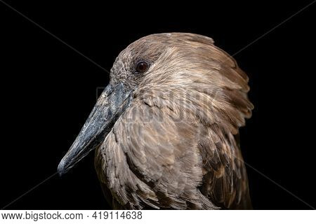 Hamerkop Bird Close Up Portrait Isolated On Black Background. African Wading Bird With Crest, Brown