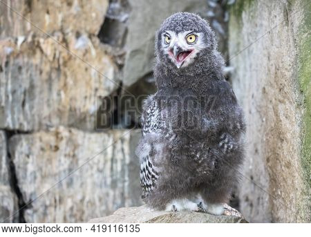 Astonished Snowy Owl Chick With Open Mouth. Young Polar Or White Owl (bubo Scandiacus) With Yellow E