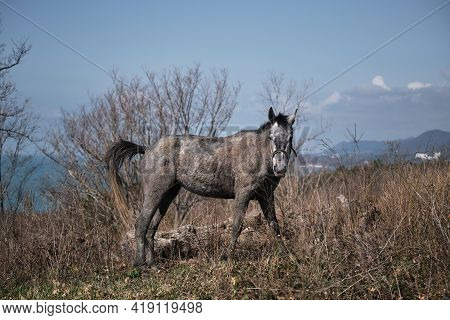 Beautiful Horse Grazing Outside The Farm In The Wild. Gray Thoroughbred Young Stallion Grazes In A F