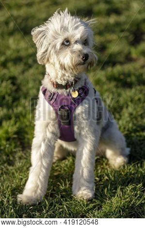 11-month-old Miniature Australian Shepherd Poodle Mix Female Puppy Sitting And Looking Away. Off-lea