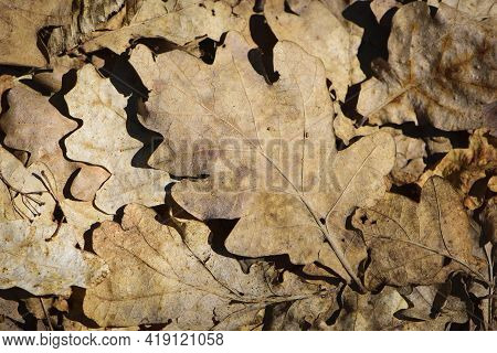 Dry Leaves. Dry Fallen Brown Oak Leaves In Autumn Park. Autumn Background With Dry Oak Leaves, Top V