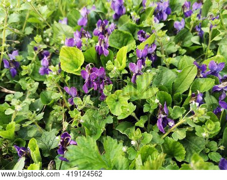 Flowers in the forest -  Beautiful sweet violet flowers in the grass during springtime -  Viola odor