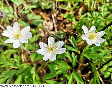 Flowers In The Forest - Snowdrop Anemone - Anemonoides Sylvestris, Known As Snowdrop Anemone Or Snow