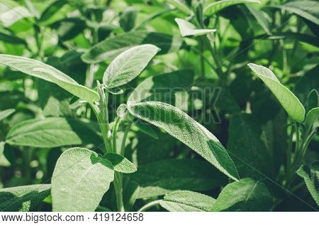 Fresh Sage Herb Grow Outdoor. Close-up Of Sage Plant In Herb Garden Used For Cooking. Seasonings, Na