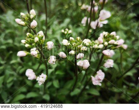 White Flowers In The Garden  -  Springtime. Gardening During Springtime